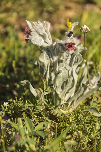 Pardoglossum cheirifolium (L.) Barbier & Mathez, 1973