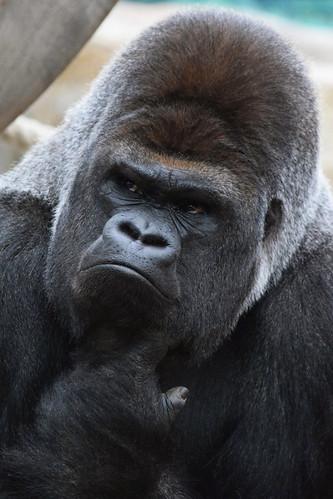 Asato @ Zoo de Beauval 09-05-2016