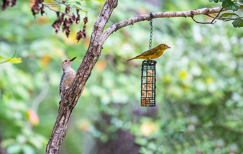 Two at the Feeder 2016 01