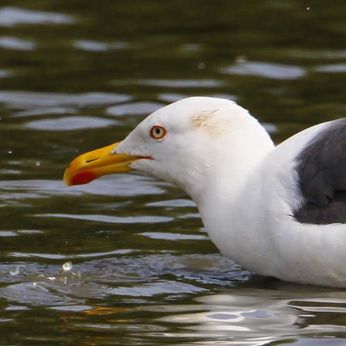 Lesser Black Baced Gull