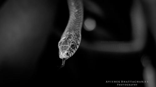 An Innoxious Snake