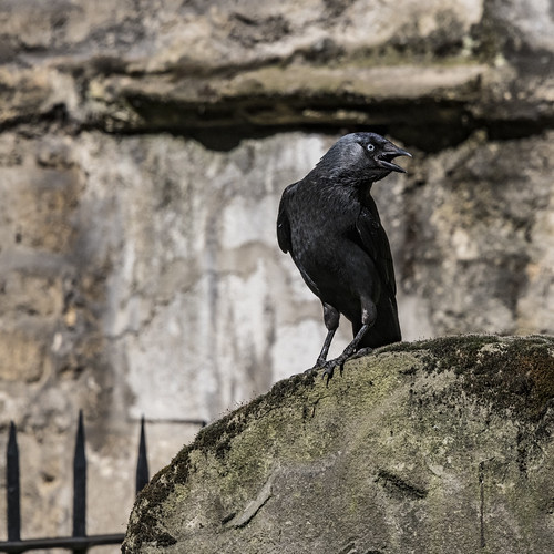 Jackdaw on tombstone/Poe: Raven