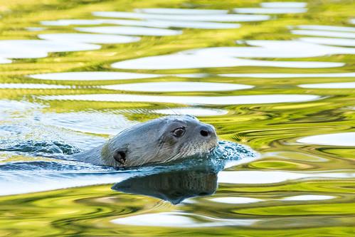Loutre géante d'Amazonie / Giant otter of Amazonia Peru