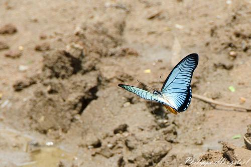 Papilio zalmoxis 20141114_46360