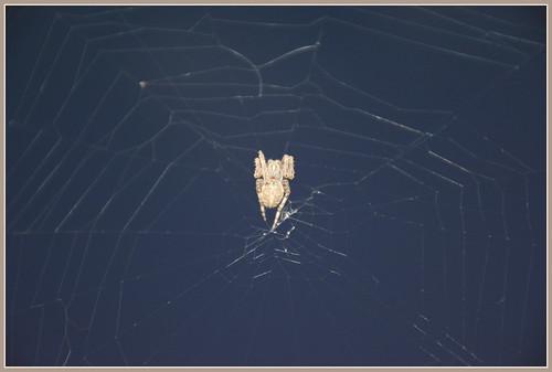 ((( Sinister Night Spider )))