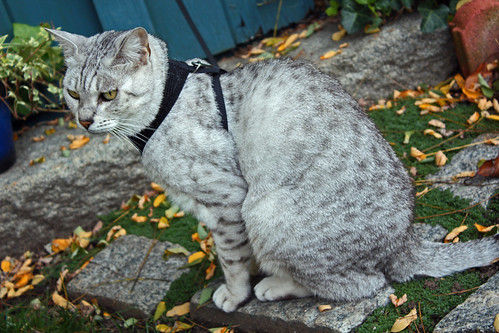 Autumnal Outing of Mitzy, the Egyptian Silver Mau Cat