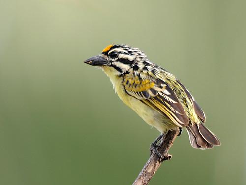 Barbadinho-de-testa-amarela // Yellow-fronted Tinkerbird
