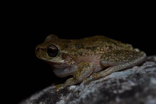 Tyrrhenian tree frog (Hyla sardus)