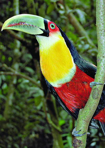 Red-breasted Toucan, Macuco Safári, Parque Nacional de Iguaçu, Paraná, Brazil.