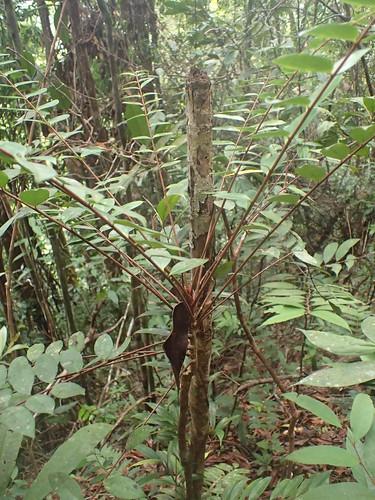 Eurycoma longifolia Jack