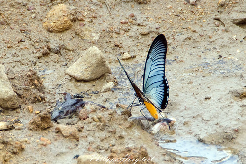Papilio zalmoxis 20141114_46367