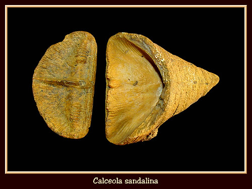 calceola_sandalina