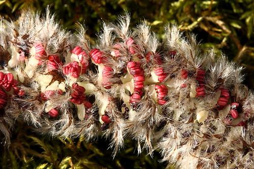 Hariliku haava õisik (Populus tremula).  Catkins of Aspen.