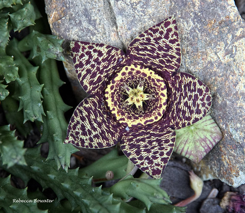 Orbea variegata   Carrion Flower  [Stapelia variegata]