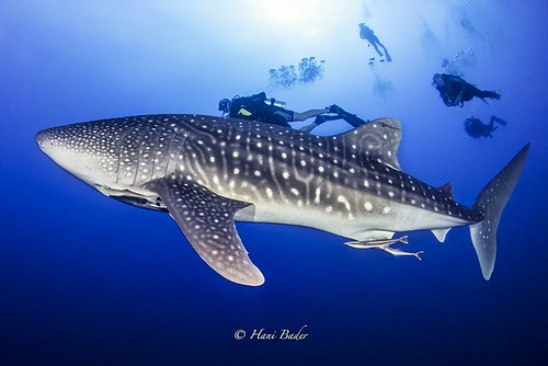 Whale shark dadalus island