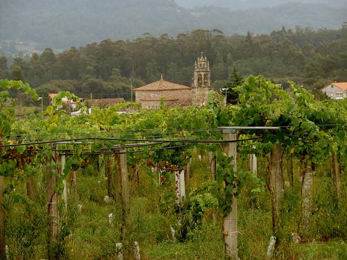 As viñas de Martín Códax no Agro de Bazán
