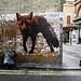 Fox on the Corner