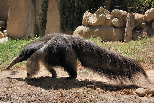 The Giant anteater.