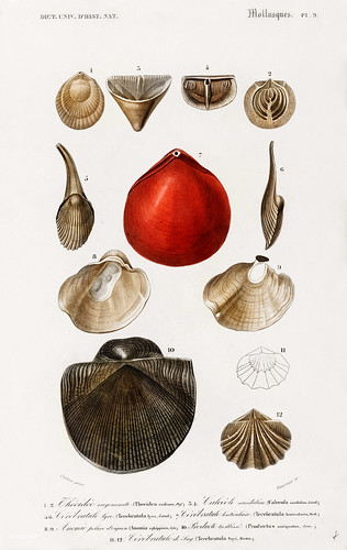 x1 & 2 Thecidea radians (Lamp shell-extinct) 3&4  Calceola sandalina (Slipper coral)5 & 6 Terebratula lyra (extinct) 7.  Terebratula lenticularis  (Lampshell)8 & 9 Anomia ephippium (Jingle shell/ Saddle oyster) 10 Productus antiquatus (Productus - extinct