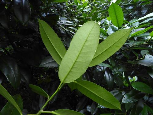 Ilex latifolia Thunb. 1784 (AQUIFOLIACEAE)