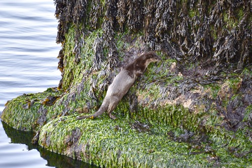 Otter Visits Aberdeen Harbour Scotland - 9/8/18