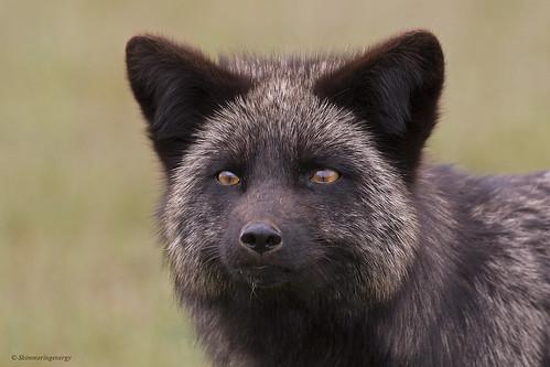 Silver Fox | Renard argenté