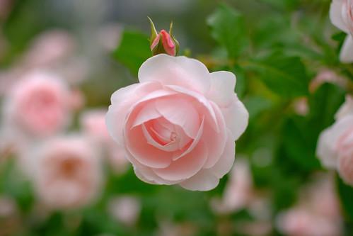 rose Nahema